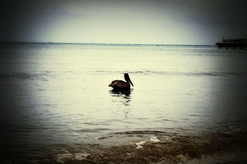 The Explorer - 2014 EyeEm Awards Enjoying Life The Pelican@Vieques,PuertoRico