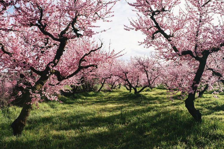 cuando las flores estallan Cherry Blossom Cherry Blossoms Flowers Nature Pink Color Pink Flower Spring Springtime Beauty In Nature Beauty Colorful