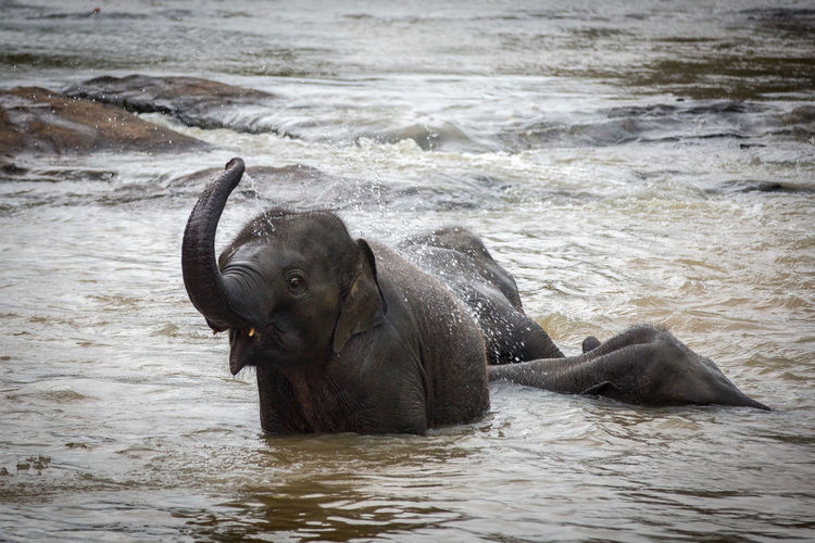 Animal Wildlife Animals In The Wild Day Elephant Elephants Indian Elephant Mammal Natural Parkland Nature No People Outdoors River Water