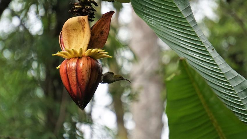 Jungle Tropical Bird Bird Spiderhunter Banana Tree Banana Outdoors Freshness Close-up One Animal Green Color Animals In The Wild Animal Wildlife Nature Food And Drink Food Animal Animal Themes Plant Plant Part Leaf EyeEmNewHere
