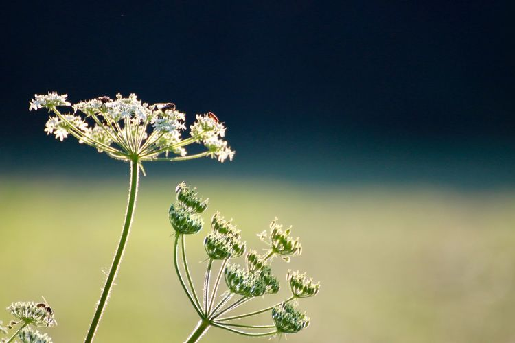 Insects on cow parsnip