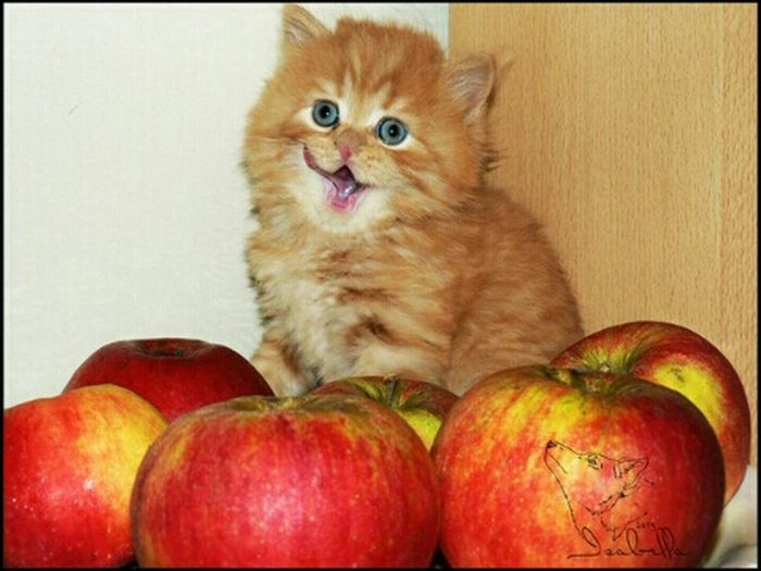 Рэд августин котёнок яблоки британец язык кот тигровый красный рыжий