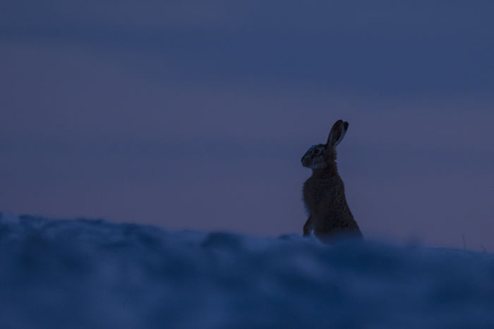 The watcher Wintertime Alert Animal Themes Animal Wildlife Animals In The Wild Beauty In Nature Close-up Domestic Animals Mammal Nature Night No People Observant One Animal Outdoors Rabbit Silhouette Sky Snow Sunset Vigilantly