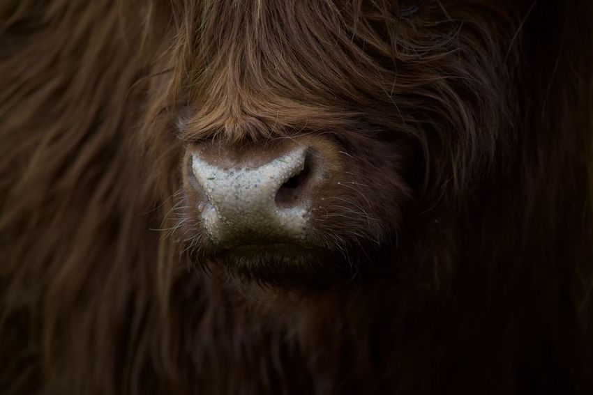Animal Hair Animal Head  Animal Themes Close-up Day Domestic Animals EyeEm Best Shots EyeEm Nature Lover Hofladen Uhlenhof Mammal Nature Nikon No People One Animal Outdoors Pets Schottisches Hochlandrind The Great Outdoors - 2017 EyeEm Awards Pet Portraits