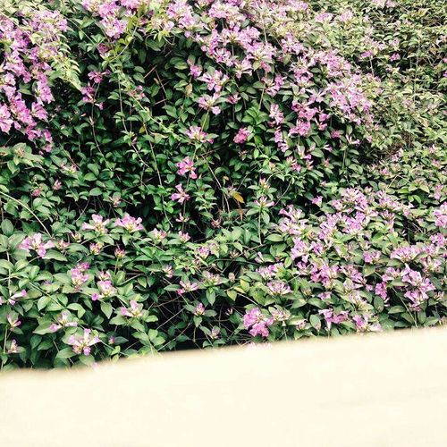 LoveNature Blossom Growth Purple Petal Flower Freshness Fragility Growth Leaf Beauty In Nature Nature Petal Plant Purple Springtime Close-up Pink Color In Bloom Botany Day Blossom Outdoors Tranquility Flower Head