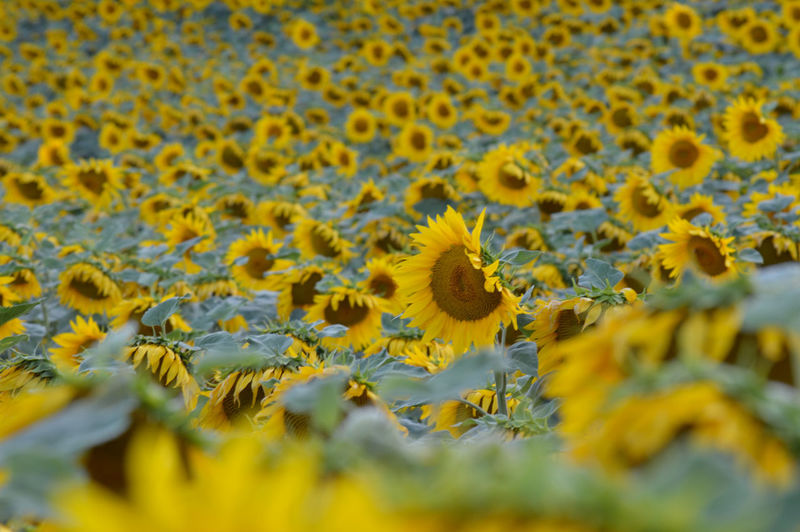 Close-up Flower Flower Head Focus On Foreground Growing Hiding Lowering Eyes Nature Plants Shy Sunflower Yellow