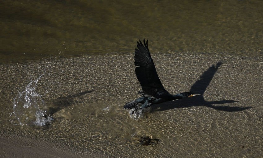 Animal Themes Animal Water Vertebrate Bird One Animal Animal Wildlife Animals In The Wild Nature Flying Day No People Spread Wings Sunlight Beach High Angle View Outdoors Shadow Waterfront