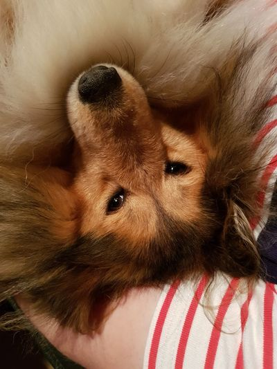 Kara (Shetland Sheepdog)