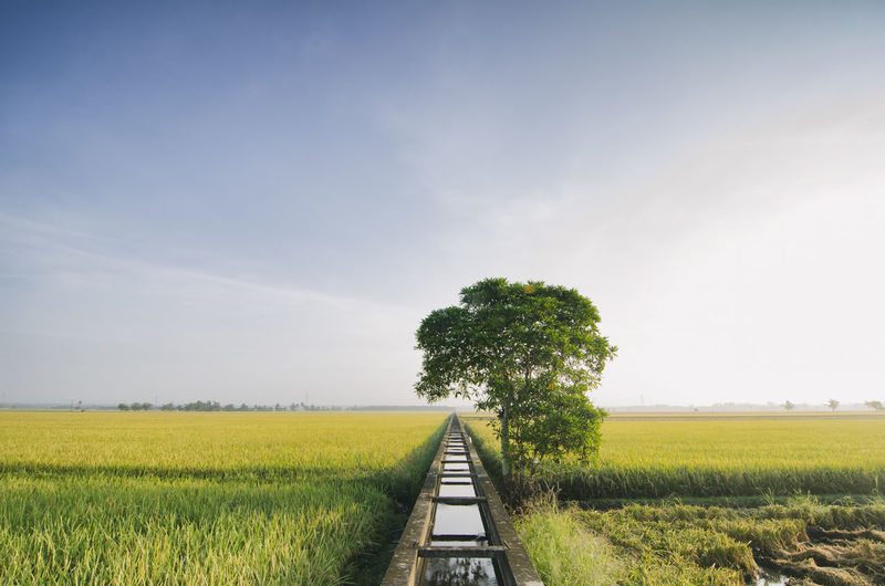 beautiful wide view yellow paddy field in the morning. blue sky and single tree on the left Agriculture Beauty In Nature Cloud - Sky Day Field Field Freshness Grass Growth Irrigation Nature No People Outdoors Scenery Sky Sunlight The Way Forward Tranquility Tree Backgrounds