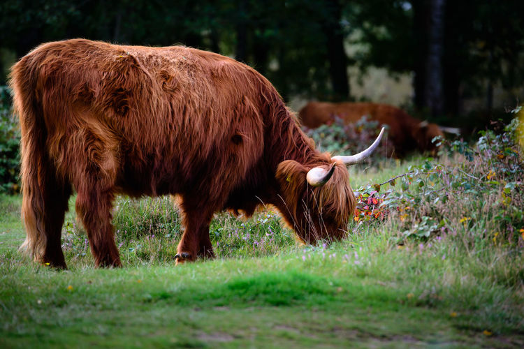 Highland Cattle, Nature, Animals Animal Themes Brown Cow Day Domestic Animals Field Grass Highland Cattle Livestock Mammal Nature No People One Animal Outdoors Tree