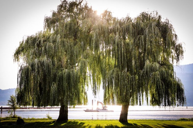 Kelowna,BC Canada Canada150 British Columbia British Columbia, Canada Tree Nature Growth Water Outdoors Grass One Person Beauty In Nature Sunset Late Summer Late Summer Colours Tree Of Life Green Color Green The Week On EyeEm Lost In The Landscape