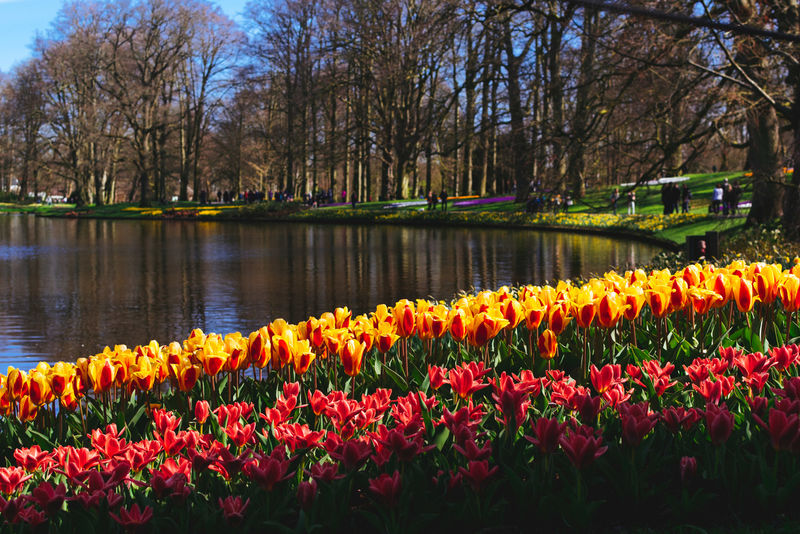 Abundance Beauty In Nature Blooming Day Flower Flowerbed Fragility Freshness Growth Keukenhof Lake Nature Outdoors Plant Scenics Sky Tranquil Scene Tranquility Tree Tulip Water Showcase April