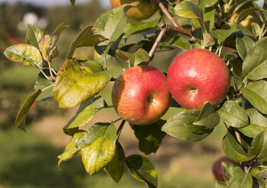Apple Apple Orchard Autumn New England  Pick Your Own Fruit Agritourism Apple Tree Fall Family Time Harvest Honeycrisp