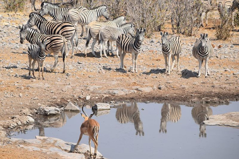 EyeEm Selects Water Striped Animal Themes Animal Group Of Animals Mammal Tourism Animal Wildlife Nature Safari Day Zebra Travel Destinations Animals In The Wild Reflection Travel Outdoors Drinking Herd