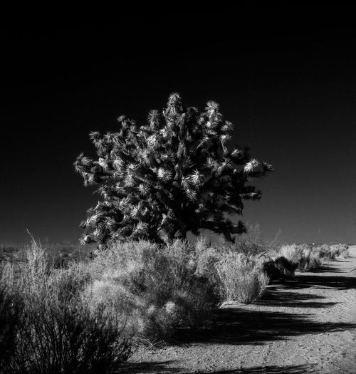 Somewhere along Hwy 395 in California Beauty In Nature Black And White, Cactus Clear Sky Film, Flower Getty X EyeEm Grass Growth Landscape Medium Format Film Monochrome Nature Night No People Outdoors Plant Pricks, Sharp, Shootermag Sky Tranquility Tree