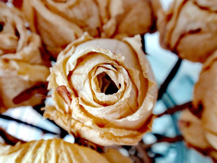 Roses Rose - Flower Old Rose Old Flower Flower Flower Head Nature Beauty In Nature Close-up No People