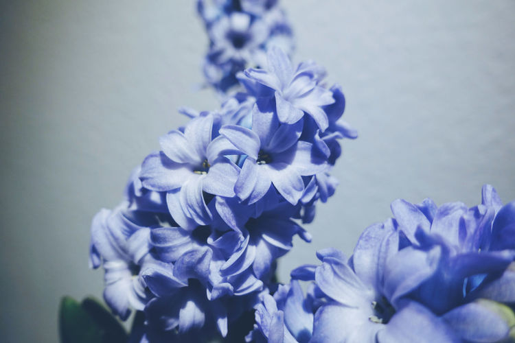 Flower Flower Head Flowering Plant Purple Blue Indoors  Close-up Plant Nature Detail Growth Freshness Petal Fragility Inflorescence Beauty In Nature Lilac Life Lifestyles Still Life Natural Pattern Natural Beauty Nature_collection Selective Focus Blooming