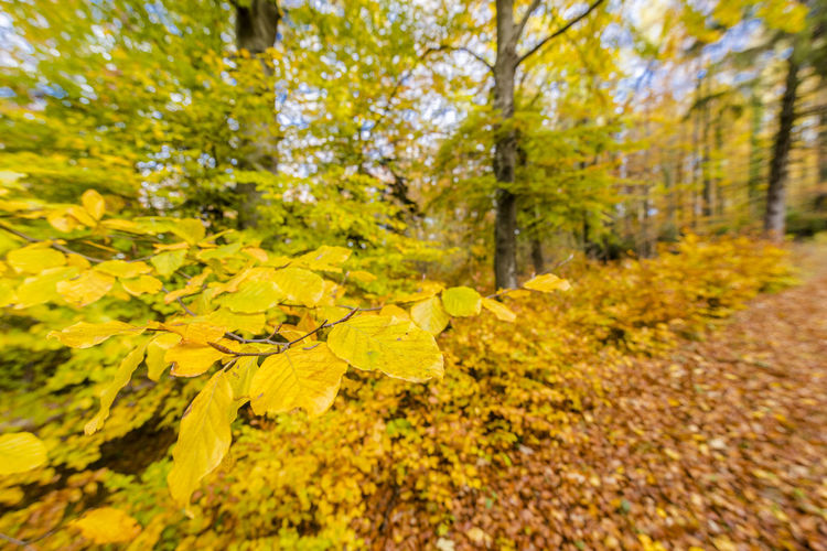 Beautiful autumnal forest with colors glad leaves. No one the sun shines beautiful peaceful scene. Tree Yellow Plant Plant Part Leaf Nature Autumn Change Forest Land Beauty In Nature Growth Environment No People Scenics - Nature Day Tranquility Landscape Outdoors Selective Focus WoodLand Leaves Autumn colors Autumn Leaves Autum Forrest Tranquil Scene Relaxing