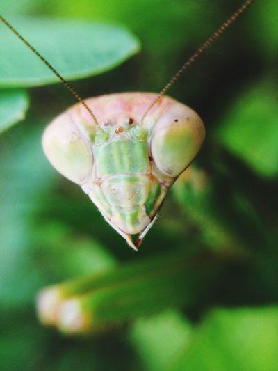 Extreme close-up of praying mantis