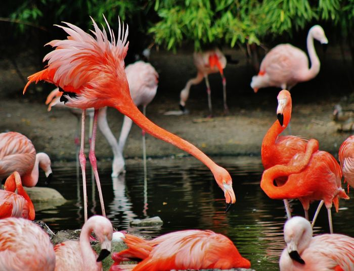 Animal Animal Themes Avian Beak Beauty In Nature Bird Close-up Day Flamingo Focus On Foreground Medium Group Of Animals Nature No People Orange Color Outdoors Water Wildlife Zoology