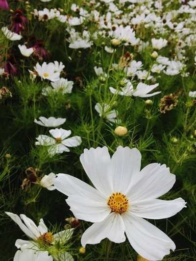 Flower White Color Nature Petal Fragility Flower Head Freshness Beauty In Nature Growth Plant Blooming Day Outdoors No People Close-up