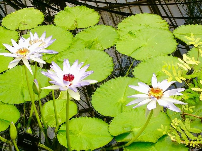 Beauty In Nature Bright Close-up Day Flower Flower Head Fragility Freshness Green Color Growth Kew Gardens Leaf Name Label Nature No People Outdoors Plant Reflection Water Lily