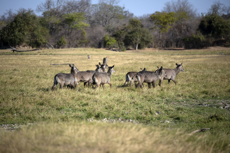 Waterbucks in a field