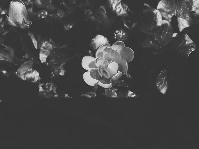Flower Blackandwhite Black & White Vilkovo OpenEdit Nature