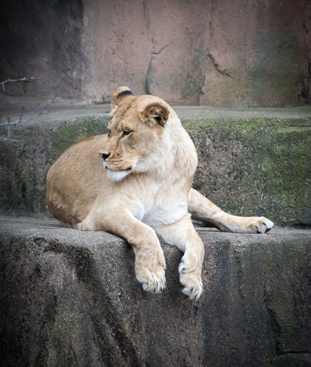 Lioness looking away while lying on retaining wall