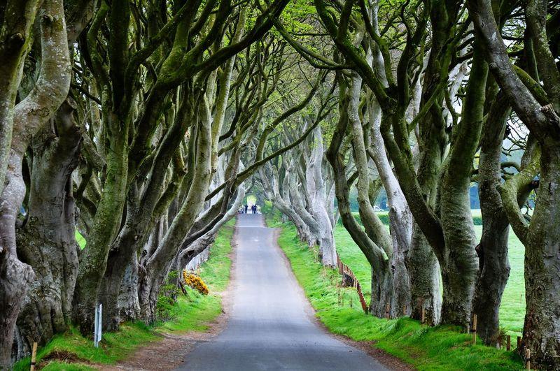 Dark Hedges County Antrim Dark Hedges Northern Ireland Tree