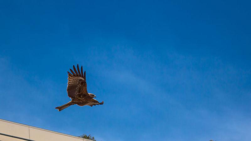 Hawk Birds Bird Bird Photography Blue Sky Nature Nature_collection EyeEm Nature Lover EyeEm Best Shots EyeEm