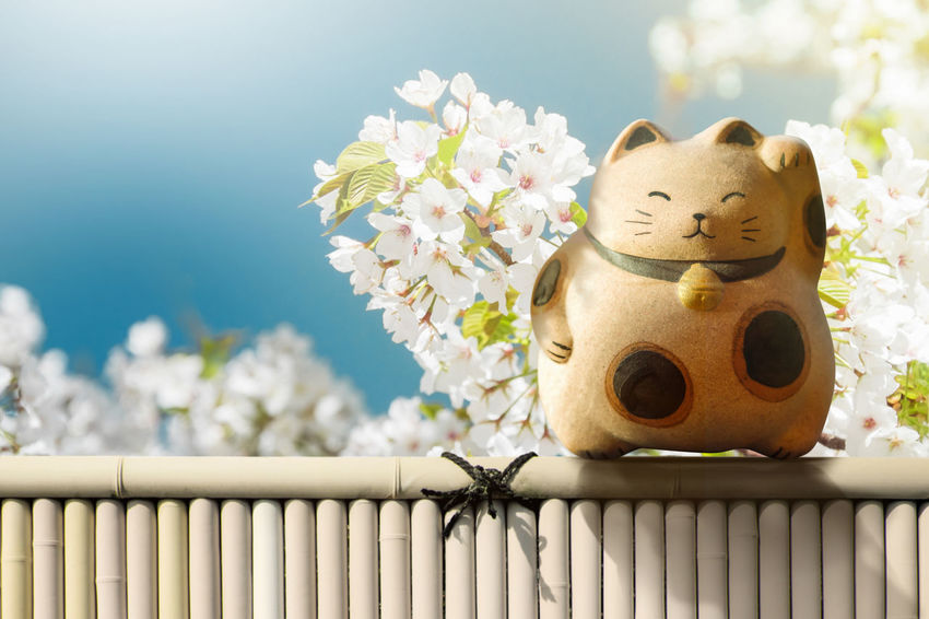 Japan Maneki Neko or Beckoning Cat standing on Bamboo Fence over Japanese Blossom Sakura Flower. Mascot of Lucky, Fortune and Money Faith Japan Japanese  Lucky Sign Animal Themes Beauty In Nature Cat Close-up Culture Day Flower Flower Head Fortune Fragility Freshness Manekineko Nature No People Outdoors Sky Symbol