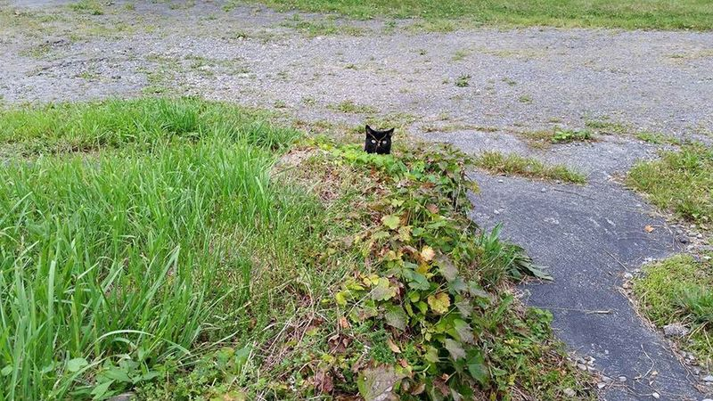 Kitty Stealth Black Cat Cat Cat Lovers Greenery Rockwall Ivy Animal Photography Animallovers Peekaboo Vines