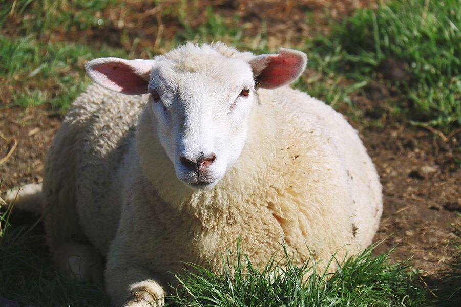 Animal Sheep Close-up Low Angle View Nature Photography Nature On Your Doorstep Schaf  Nahaufnahme Taking Photos Enjoying Life Check This Out Germany🇩🇪 Hamburger Hallig Weide