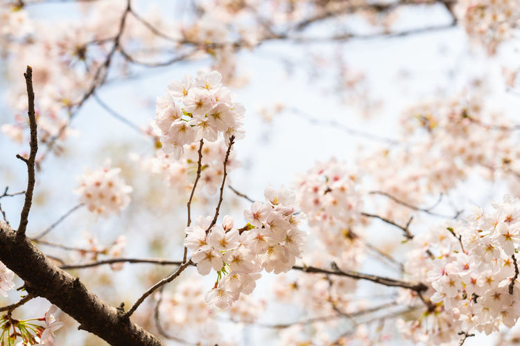 Flowering Plant Fragility Flower Vulnerability  Plant Freshness Blossom Beauty In Nature Branch Tree Growth Cherry Blossom Springtime Close-up Nature Day Cherry Tree White Color No People Twig Outdoors Flower Head Pollen Spring