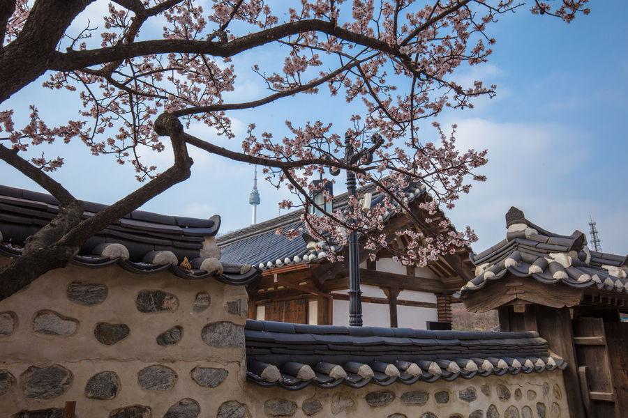 Home Chery Blossom Chery Spring Seoul Korea Namsangol Hanok Village