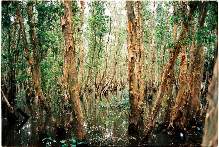 Melaleuca Forest in Plain Of Reeds , Vietnam. Ektar100 Canonf1