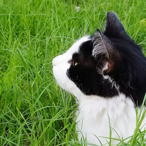 Squibles is the commander in my backyard. She is part of the trap and release program in my neighborhood and I take care of her. Nothing gets past her. #longhaircat #blackandwhitecatsofinstagram #blackandwhitecatsofeyeem #summerday #commander #trapandrelease #closeshot #natureshot #eyemselects HEAD Blade Of Grass