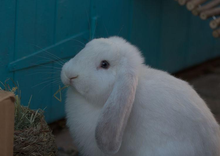 Close-up of white rabbit