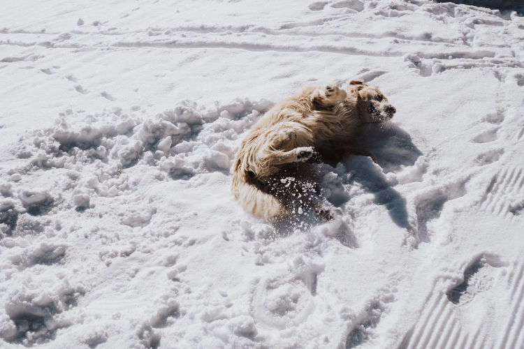 Funny Golden Retriever Winter Wintertime Animal Themes Animals Animals In The Wild Beach Cold Day Dog Domestic Animals Fur Furry Laying Leisure Activity Mammal Nature No People On The Back One Animal Outdoors Playing Sand Snow