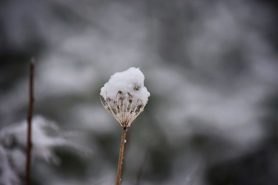 Nature Growth Fragility Focus On Foreground Close-up Plant Outdoors Beauty In Nature No People Cotton Plant Day Freshness Snow ❄ Outside Photography Outdoor Photography Weeds Are Beautiful Too Winter Snow Snow Covered Plant Flower Head Growth Wintertime Beauty In Nature Nature