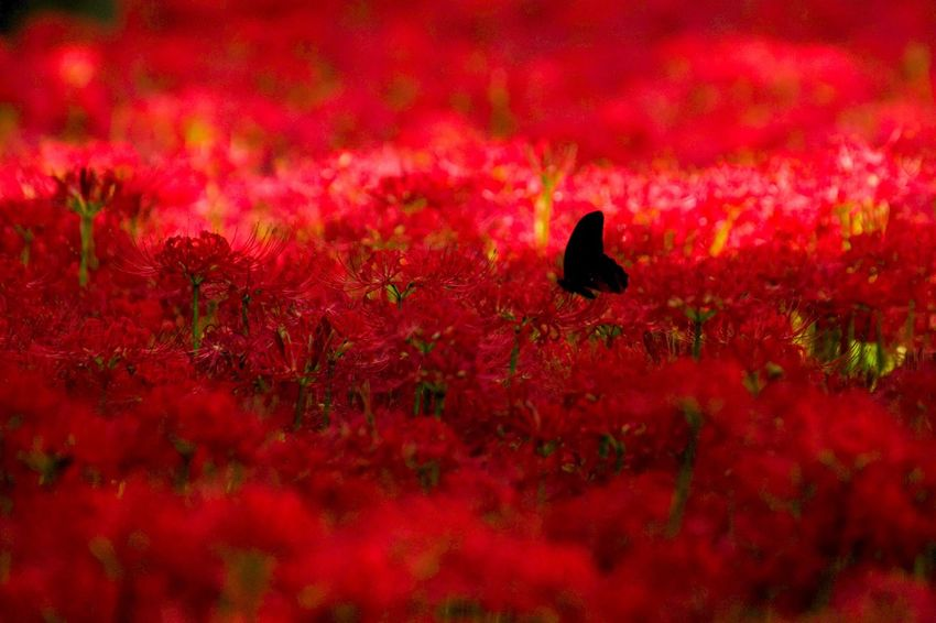 Red Animals In The Wild Nature Silhouette Animal Themes One Animal Bird Animal Wildlife Beauty In Nature Growth Outdoors No People Sunset Perching Raven - Bird Day EyeEm Best Shots - Nature EyeEm Nature Lover EyeEm Best Shots 巾着田曼珠沙華公園 Flower Beauty In Nature Week On Eyeem