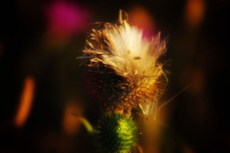 bloomed thistle