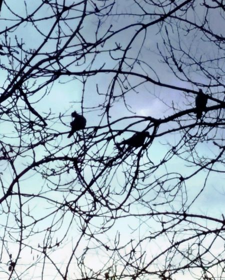 Mobile Photography Mobilephotography December 2015 Taking Photos Taking Pictures Open Edit Birds Doves Silhouettes Silhouette Trees Tree United Kingdom Lavendon