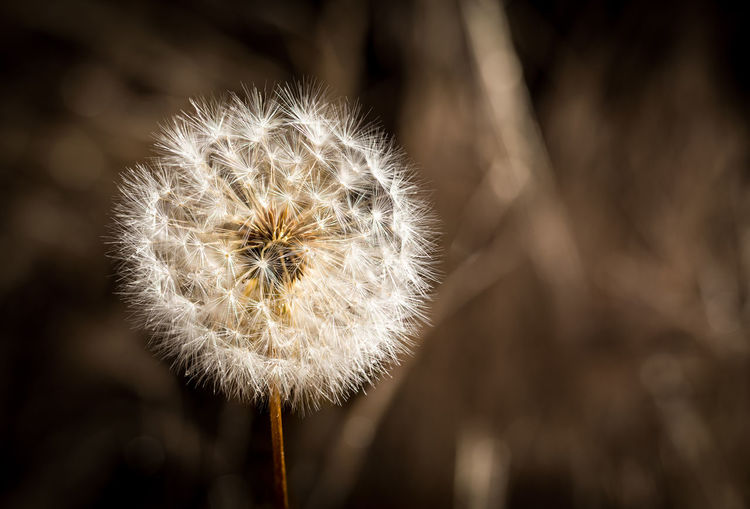 Dandelion Dreaming Autumn Bursting Field Grass Beauty In Nature Blowing Breeze Close-up Dandelion Dandelion Seed Delicate Dried Flower Flower Head Focus On Foreground Fragility Meadow Nature Outdoors Plant Softness Springtime Summer Tan White