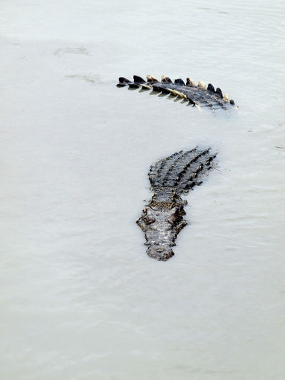 High angle view of alligator swimming in lake