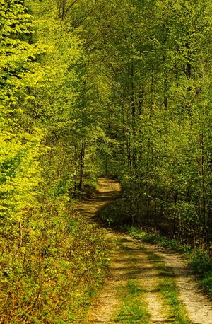 Forest Nature Tree Tranquility Tranquil Scene The Way Forward Scenics No People WoodLand Beauty In Nature Landscape Outdoors Green Color Growth Pinaceae Day Shadow Rural Scene Road Single Lane Road Switzerland Tösstal SONY A7ii