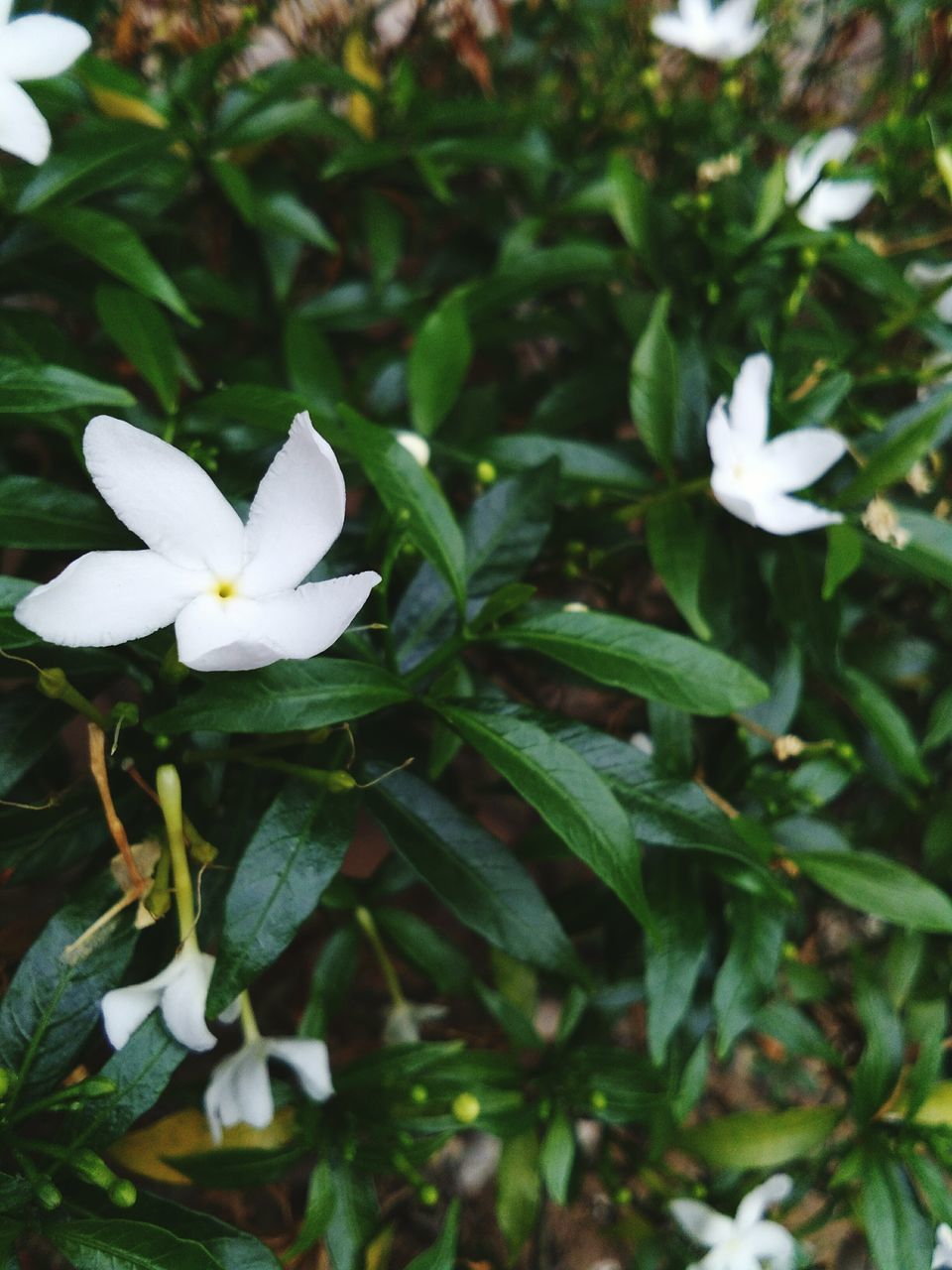 flower, petal, green color, beauty in nature, white color, growth, nature, freshness, fragility, leaf, flower head, close-up, plant, no people, day, blooming, outdoors, periwinkle, frangipani