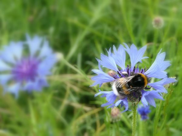 Bumble-bee on Cornflower Animal Themes Animal Wildlife Animals In The Wild Beauty In Nature Bee Blooming Blue Close-up Day Flower Flower Head Focus On Foreground Fragility Freshness Growth Insect Nature No People Petal Plant Pollination Purple Bachelor Buttons BlueBottle Garden Cornflower