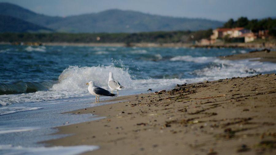 first bathers Beach Animal Wildlife Backgrounds Seagull Bird Water Wave Beach Sea Animal Themes